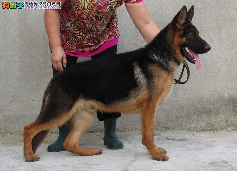 哈尔滨出售昆明犬幼犬品质好有保障专业品质一流2