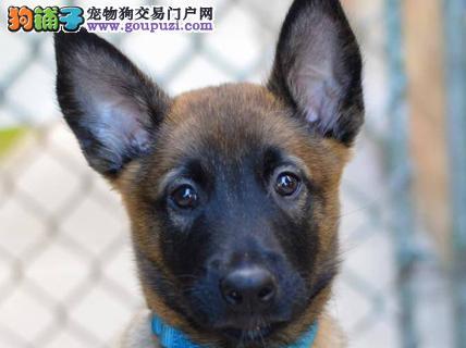 上海专业繁殖高品质马犬保健康纯种比利时马林诺斯犬