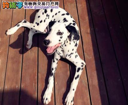 盘锦纯种犬繁殖基地售高品质大麦町犬签署合同售后完善
