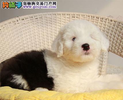 出售多只优秀的古代牧羊犬哈尔滨可上门哈尔滨地区可包邮