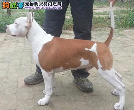 济南市售比特犬幼犬 比特斗犬多窝可选质保终身售后