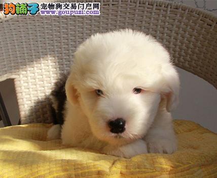 热卖古代牧羊犬宝宝 专业繁殖包质量 可签保障协议