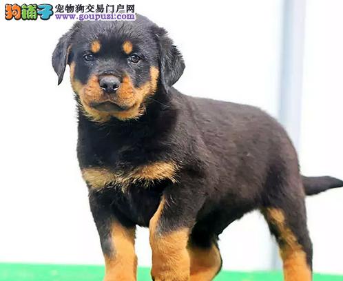 京义犬业顶级防暴犬罗威那双冠血统疫苗齐-起售中质保