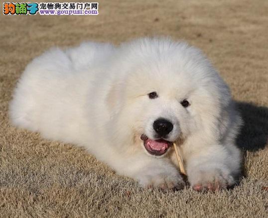 唐山威猛拉风大白熊犬疫苗已到位包血统纯正签协议