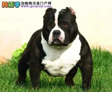 赛级品相广东美国恶霸犬幼犬低价出售最优秀的售后