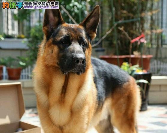 正规犬舍高品质昆明犬带证书真实照片视频挑选