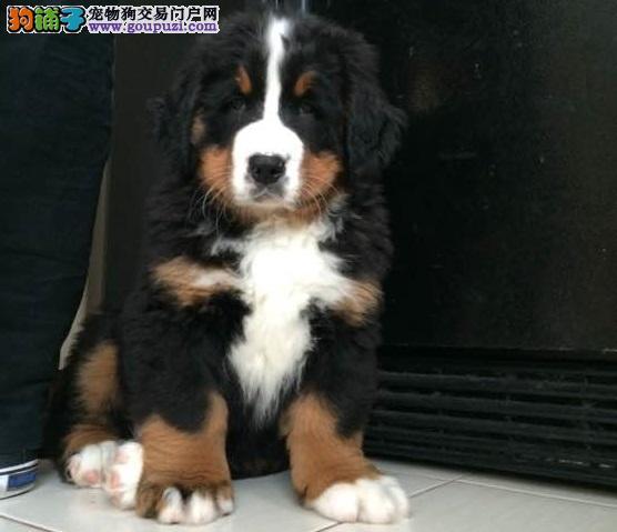 出售伯恩山幼犬 疫苗齐全 可视频看狗 公母都有 包售后