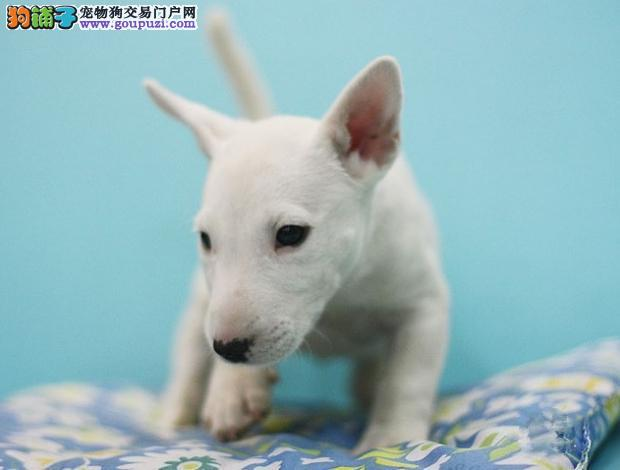 CKU认证犬舍 专业繁殖 牛头梗幼犬 购买有保证