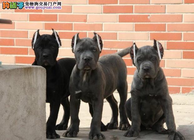 北京正规犬业 CKU认证出售卡斯罗幼犬