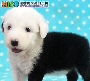 青岛知名犬舍出售多只赛级古代牧羊犬价格美丽品质优良