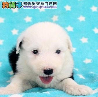 国际CKU认证血统古牧幼犬 优质品种 健康第一