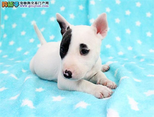 天津牛头梗犬热销中保障纯种健康专业繁殖牛头梗出售