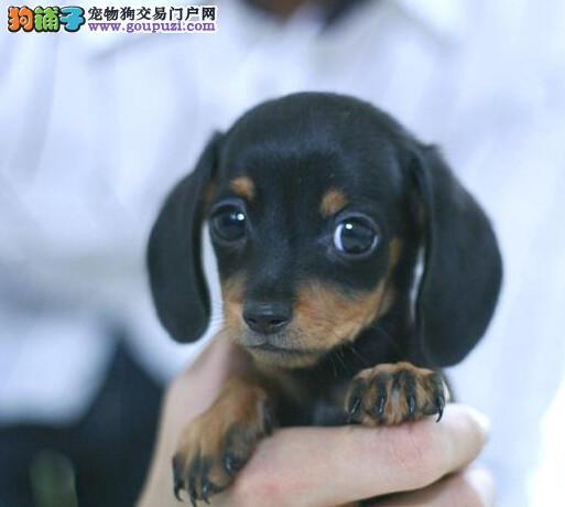 家养腊肠犬找主人啦保证健康纯种