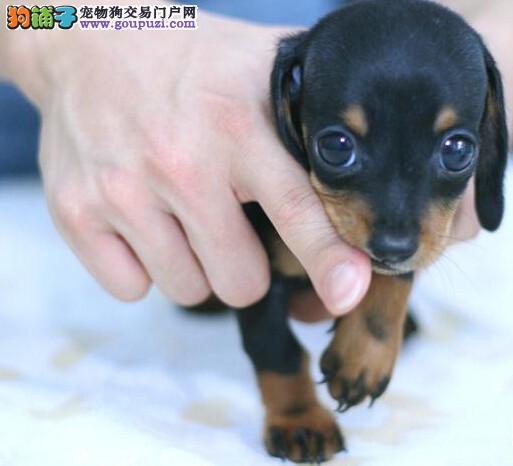 出售多只优秀的腊肠犬可上门包售后包退换