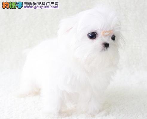深圳大型犬舍出售优质高品质马尔济斯犬 周边可送