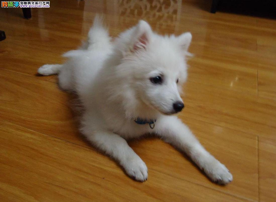 上海自家繁殖银狐犬宝宝转让 寻求有爱心的人包养活