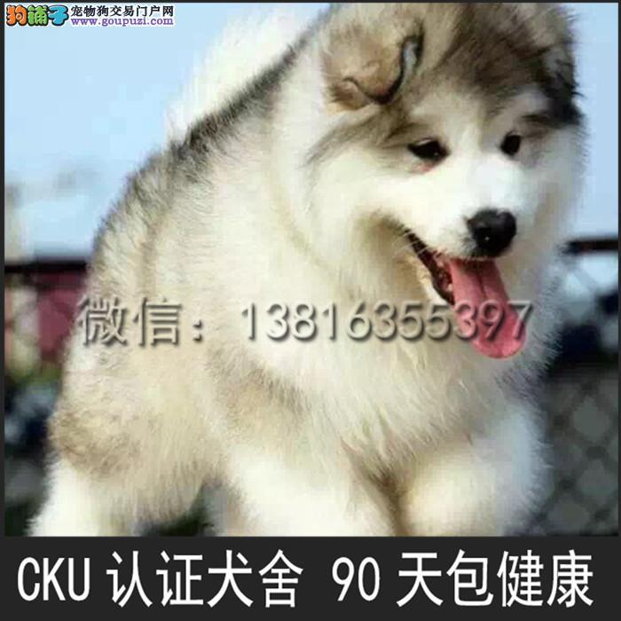 出售阿拉斯加 雪橇犬 公母均有 疫苗驱虫已做2