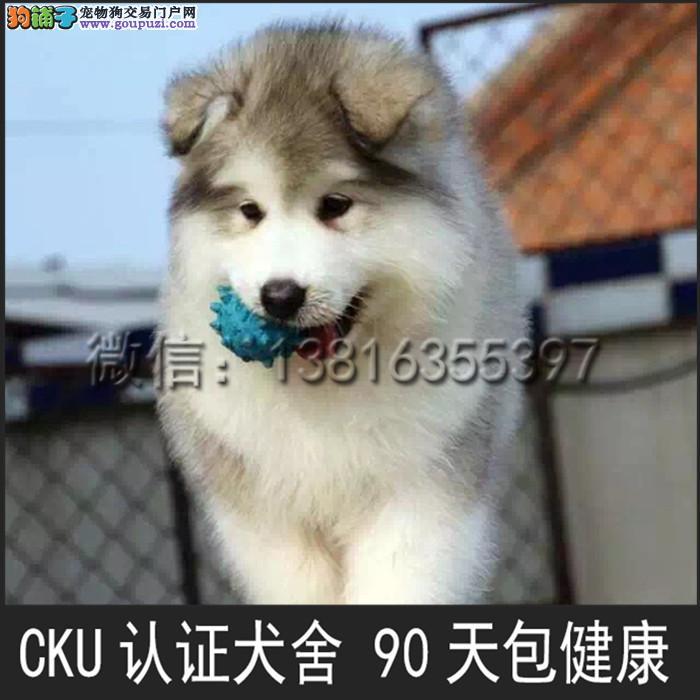 出售阿拉斯加 雪橇犬 公母均有 疫苗驱虫已做4