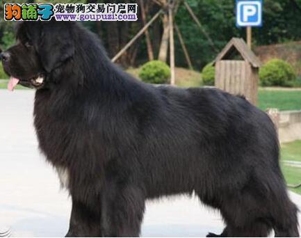 出售多种颜色宁波纯种纽芬兰犬幼犬全国空运发货
