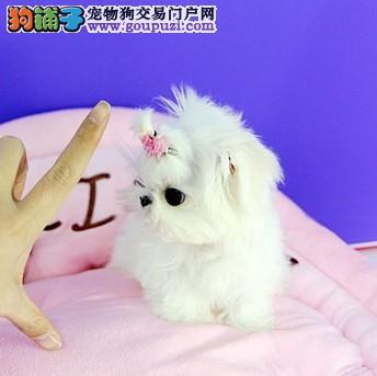 出售纯种马尔济斯 幼犬 健康质保