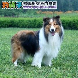 国外引进纯喜乐蒂,可看狗狗父母照片,提供养狗指导