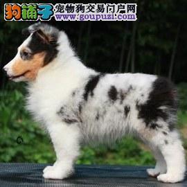 出售纯种喜乐蒂幼犬 温顺活泼 疫苗齐全公母都有