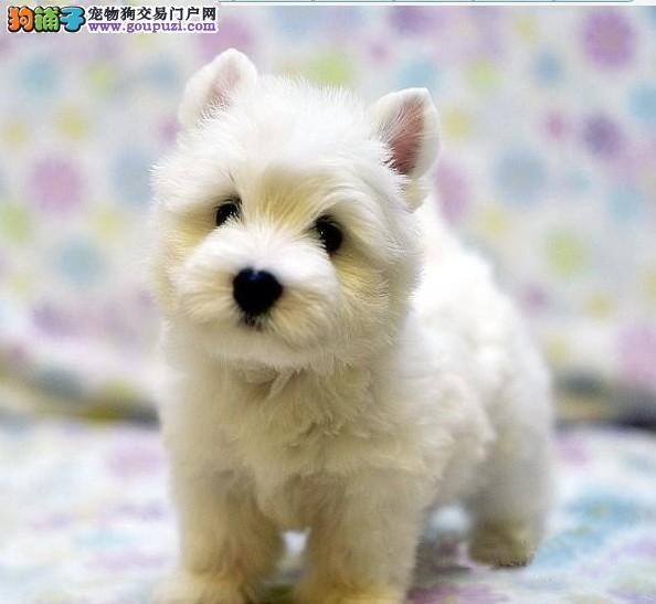 哪里有卖纯种西高 宠物幼犬 纯种 [两个月公母全有]