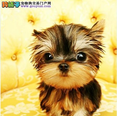 高品质约克夏幼犬出售 保健康纯种 多只挑选 完美售后