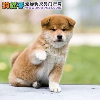 赛级品相柴犬幼犬低价出售保障品质售后