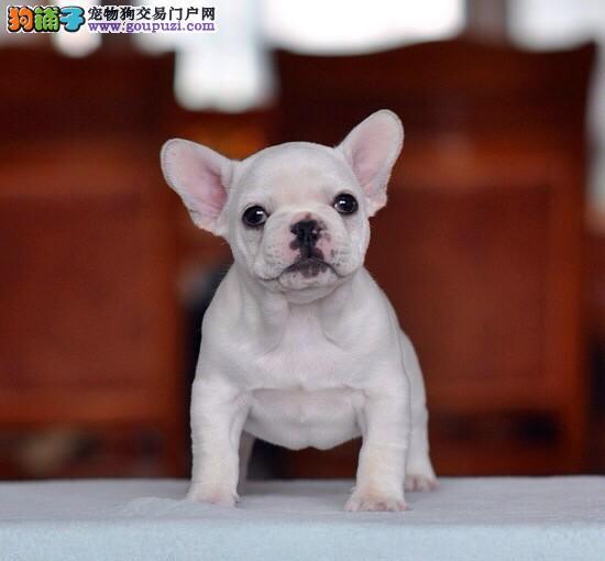 北京售纯种法国斗牛幼犬 法斗 疫苗驱虫已做 包邮费