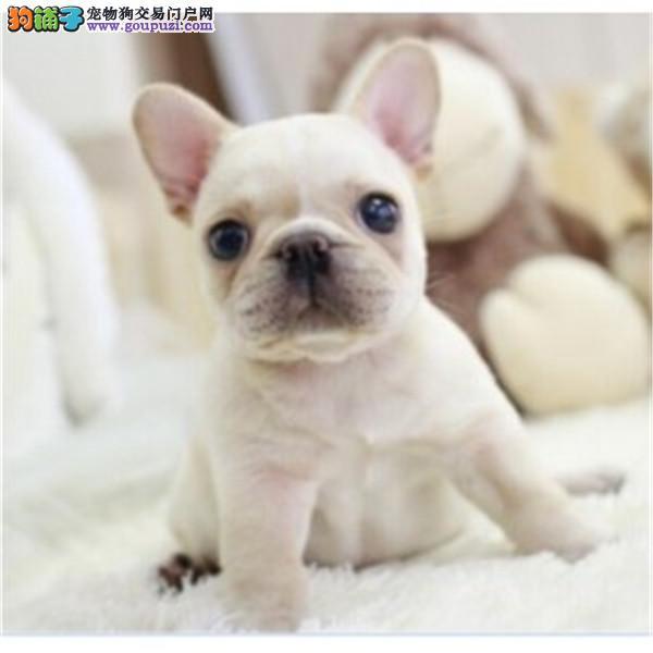热销多只优秀的郑州纯种法国斗牛犬幼犬多种血统供选购