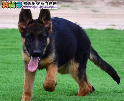 出售昆明犬三个月包退换 终身无忧养血统好