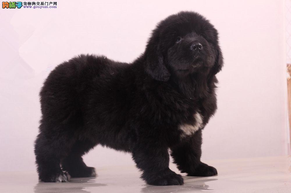宁波出售纽芬兰犬纯种纽芬兰犬多少钱一只免费饲养指导2