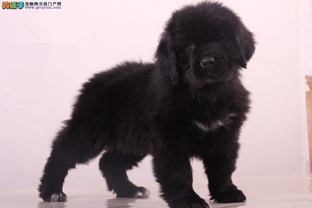 大型猛犬纽芬兰犬幼犬荆州售 防疫齐可视频多只待选