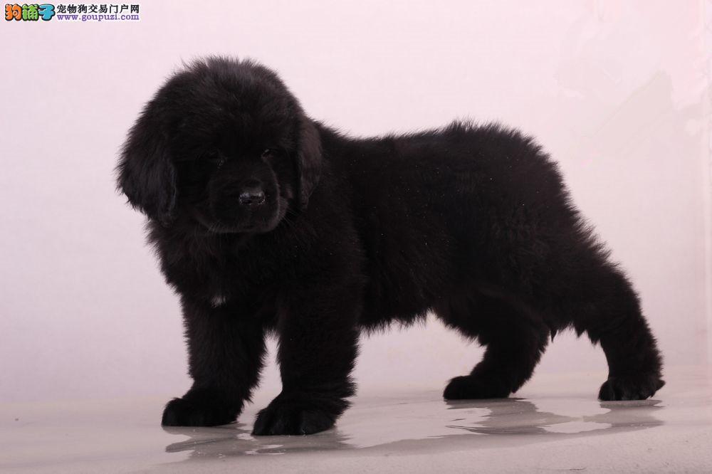 衢州自家繁殖售黑狮王纽苏兰幼犬 大个头黑狮子品质好