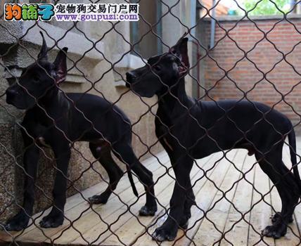 大丹犬最大的正规犬舍完美售后送用品送狗粮
