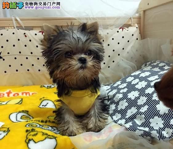 赛级品相约克夏幼犬低价出售真实照片视频挑选
