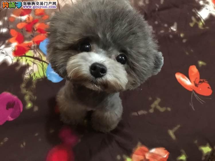 沈阳自家繁殖纯种红棕泰迪犬 免费送狗上门挑选
