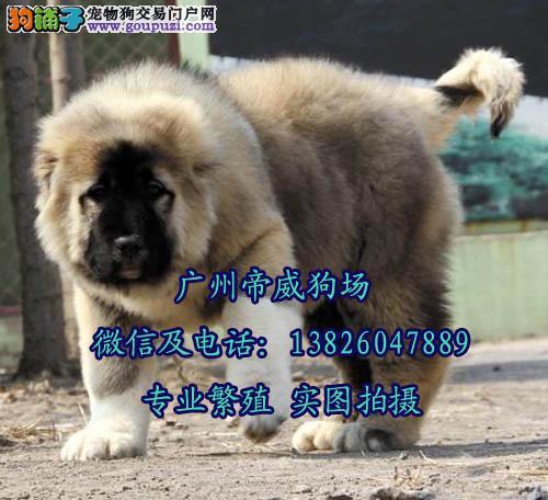 广州增城新塘哪里有狗买 广州哪里有卖高加索犬
