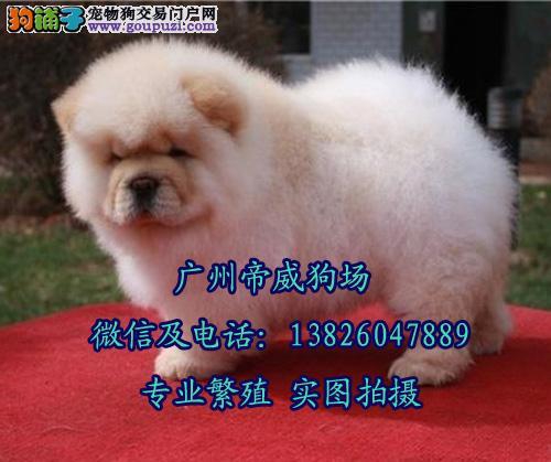 广州买狗哪里有保障 广州哪里有卖松狮幼犬