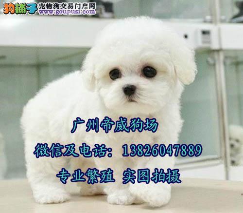 广州白云区买狗去哪 广州哪里有卖纯种比熊犬