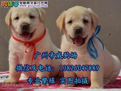 广州市荔湾区芳村卖狗的 广州哪里有卖拉布拉多猎犬