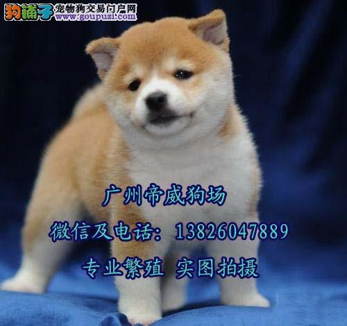 广州市到哪里有秋田犬出售 秋田犬多少钱一只