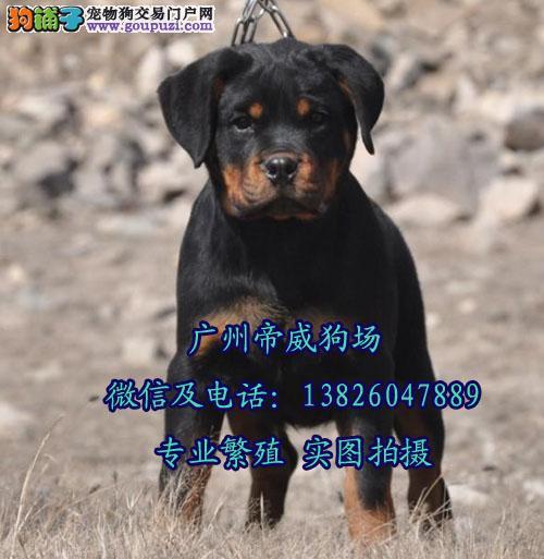广州花都区哪里有狗场 广州哪里有卖德系罗威那幼犬