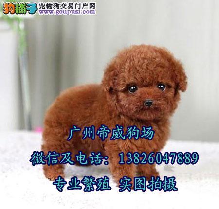 广州天河区最好的狗场 广州哪里有茶杯泰迪熊买