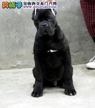 CKU认证犬舍出售高品质卡斯罗犬签署质保合同