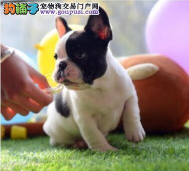 精品法牛幼犬 纯种品相好 可来场挑选狗狗 可视频