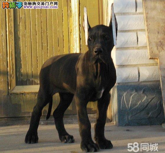 北京大丹犬舍出售精品纯种重头版大骨架大丹犬幼犬