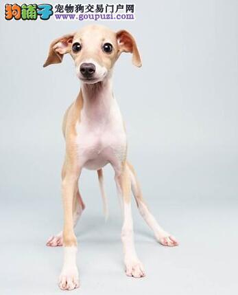 漂亮敏捷的灵提(格力犬),奔跑速度最快的狗