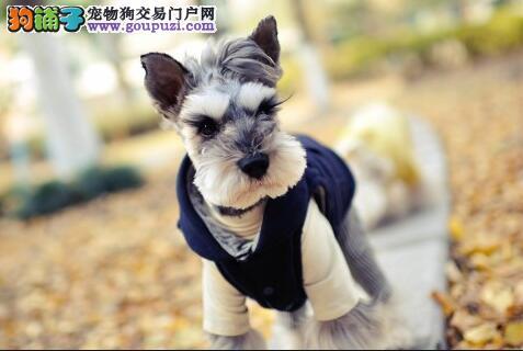 充满智慧的雪纳瑞犬,是理想的家庭伴侣犬